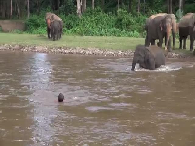 Слониха пришла на помощь тонущему человеку