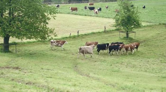 Корова думала, что едет на бойню, но ее привезли совсем в другое место (5 фото)