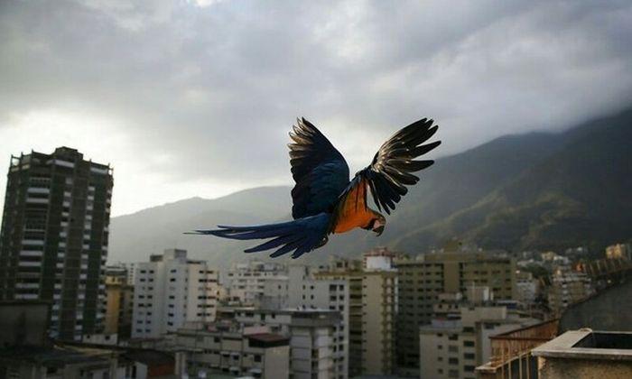 Обычные городские птицы Венесуэлы (6 фото)