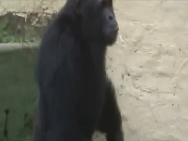 Курящий шимпанзе в зоопарке Северной Кореи