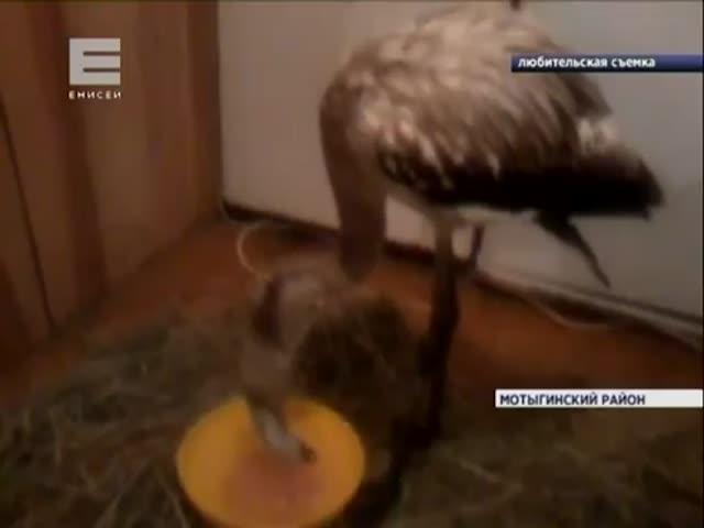 Жители Красноярского края спасли и приютили птенца фламинго