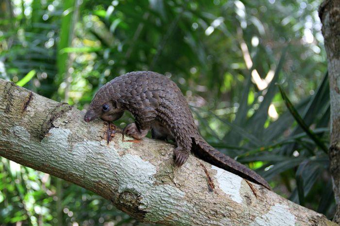 Чрезвычайно милые детеныши панголинов (30 фото)