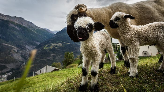 Необычные овцы (13 фото)