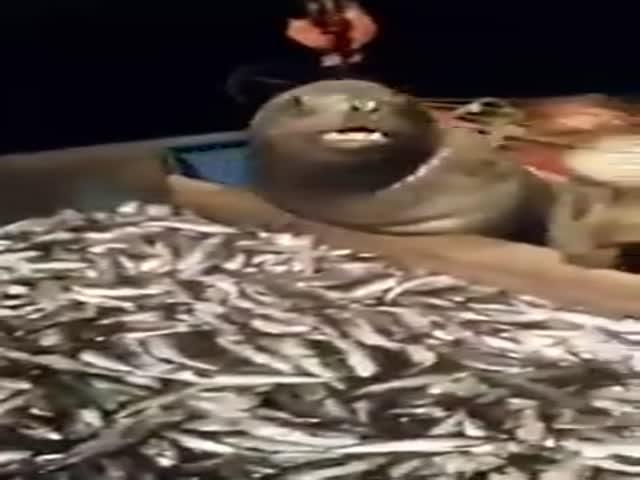 Обнаглевший тюлень