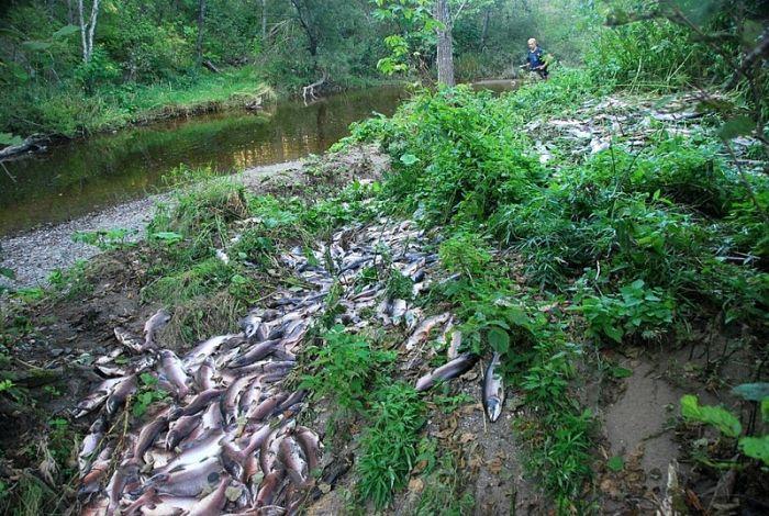 Берега сахалинских рек после нереста лососевых (5 фото)