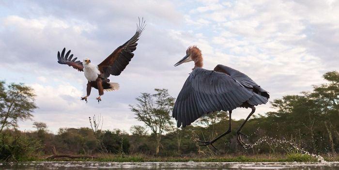 Схватка цапли и орла (7 фото)