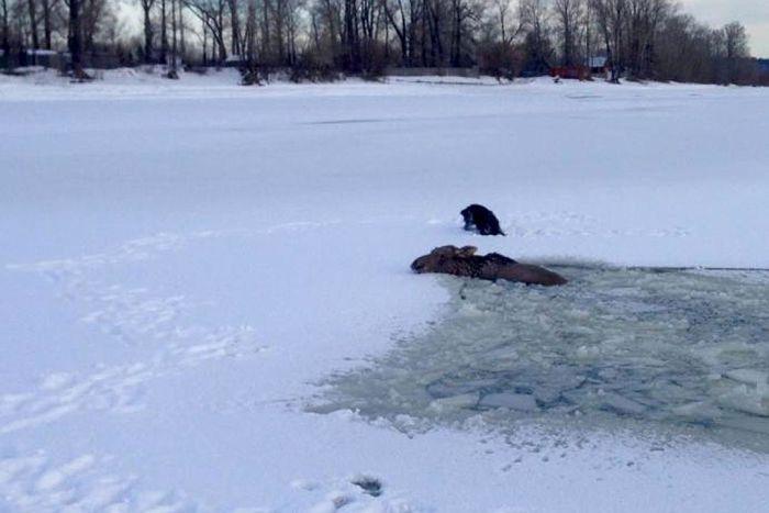 Алтайские рыбаки спасли провалившегося под лед лося (5 фото + видео)