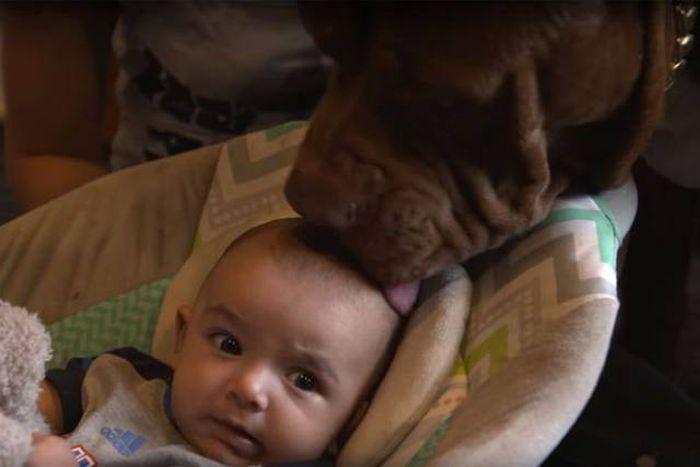 Самый большой в мире питбуль стал няней для малыша (12 фото)
