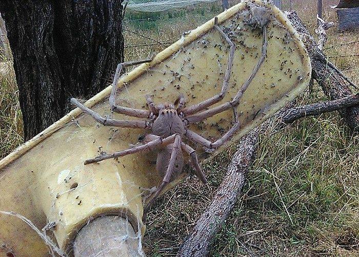 Австралийка сфотографировала самого большого в мире паука  (2 фото)