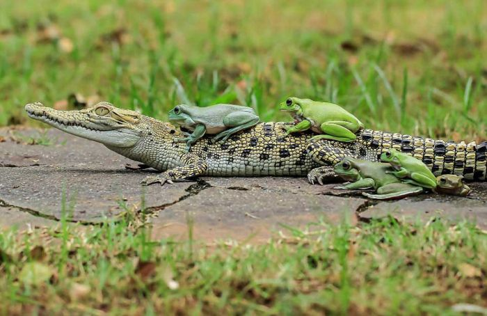 Бесстрашные лягушки оседлали каймана (8 фото)