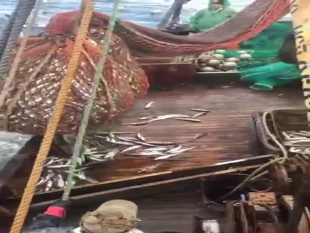 Моряки выловили моржа