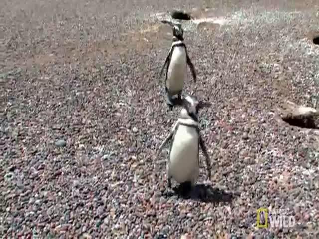 Кровавая драка пингвинов из-за самки