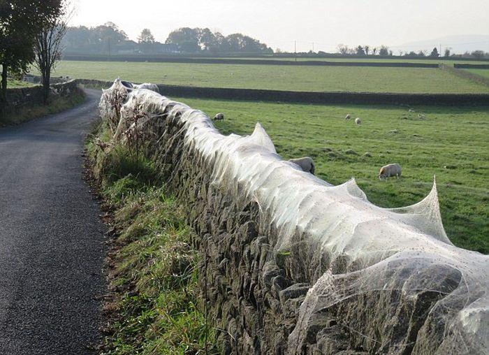 Нашествие пауков в британской деревне (8 фото)