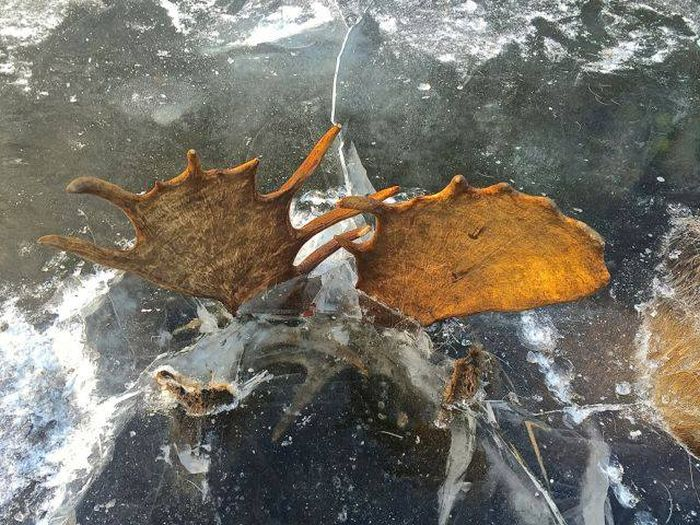 Сцепившиеся рогами лоси вмерзли в лед реки (4 фото)