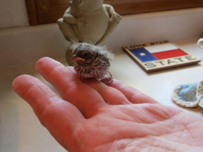 Cпасение выпавшего из гнезда птенца (14 фото)