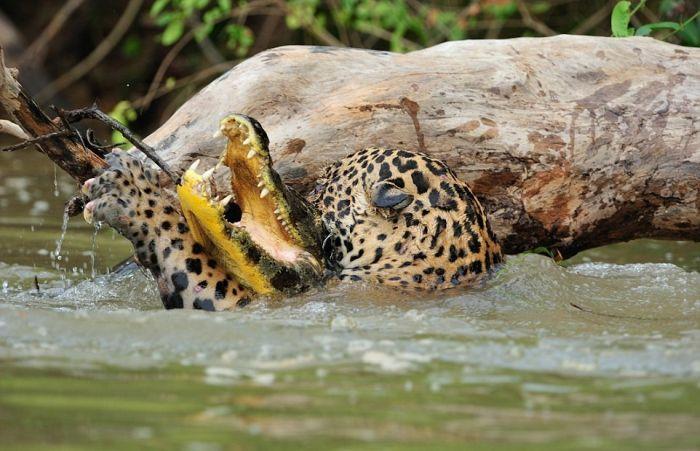 Охота ягуара на каймана шокировала капибару (7 фото + видео)