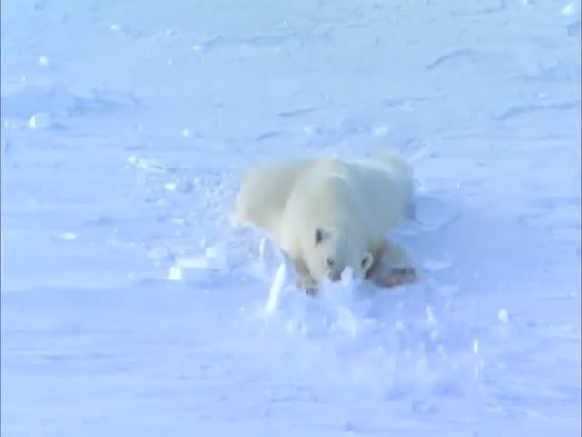Флирт у белых медведей