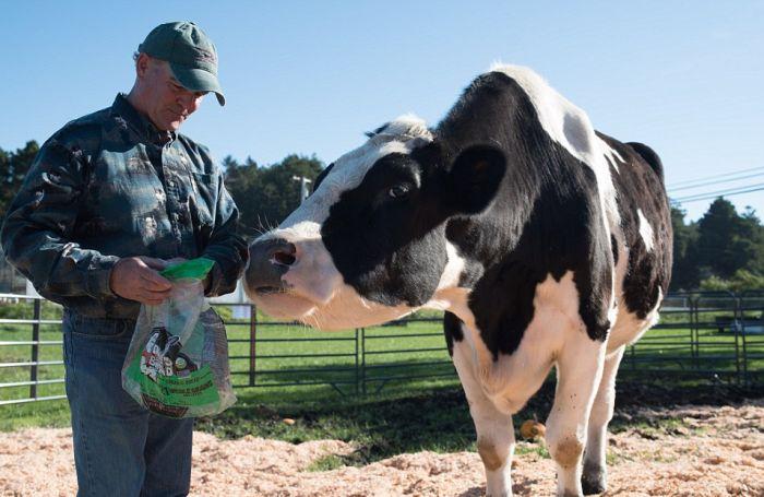 Дэнниел - самый высокий в мире бык ростом 193 см (8 фото)