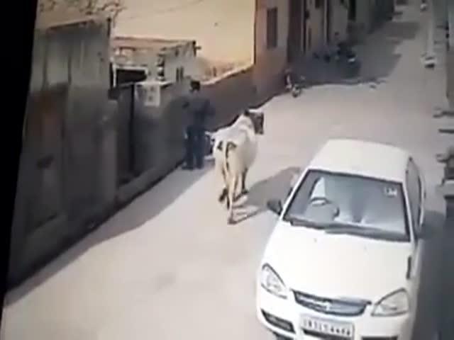 Корова напала на мужчину