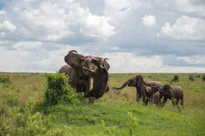 Слониха наказала буйвола (4 фото)