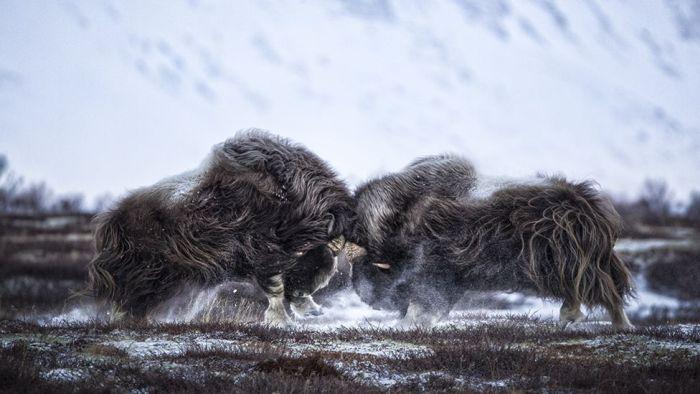 Лучшие фото дикой природы конкурса Wildlife Photographer 2016 (24 фото)