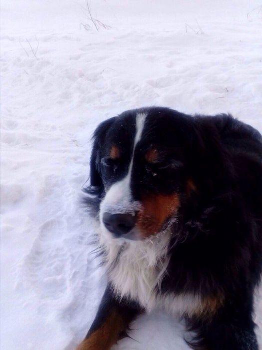 В Омске пес по кличке Ватсон нашел замерзающих в снегу котят (5 фото)