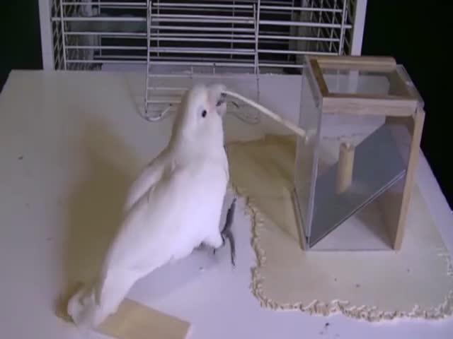 Попугай делает инструменты из подручных средств