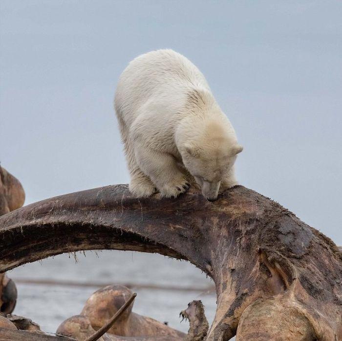 Белая медведица застряла в костях кита (6 фото)