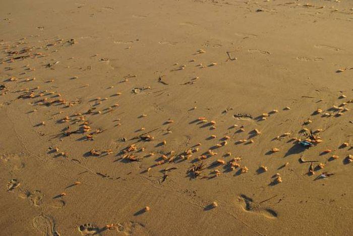 Странные существа на пляже Калифорнии (8 фото)