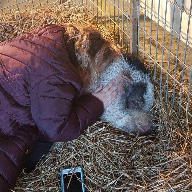 Свинья чудом пережила пожар (7 фото)
