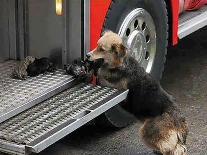 Мать спасла щенков от огня (4 фото)