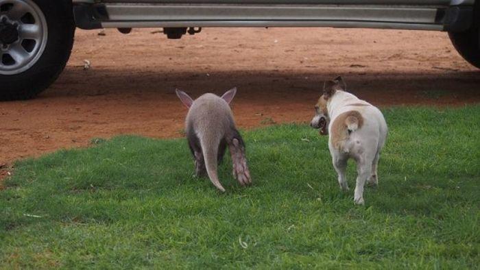 Детеныш трубкозуба считает себя собакой (14 фото)