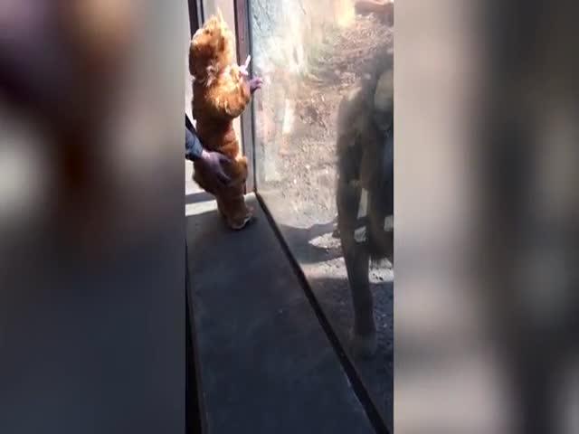 Лев знакомиться с малышом