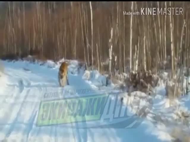 Встреча с амурским тигром