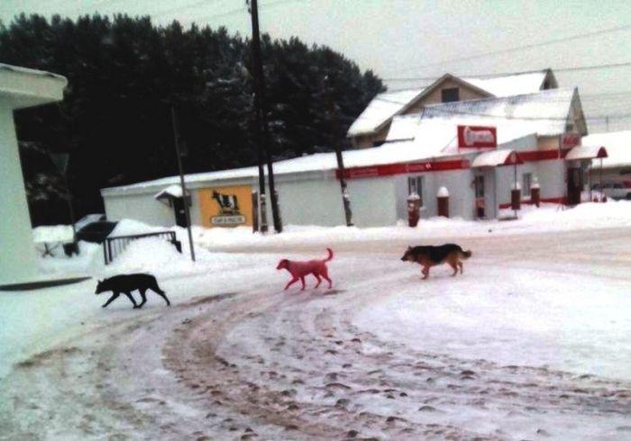 В Ижевске спасли розовую собаку (6 фото)