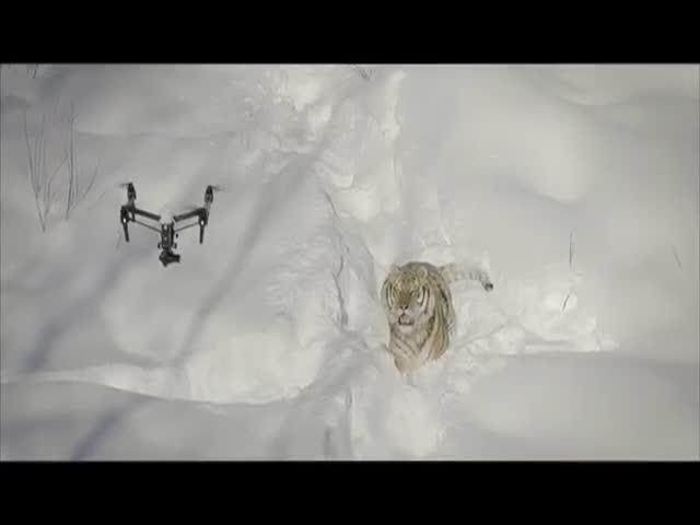 Реакция тигров на дроны