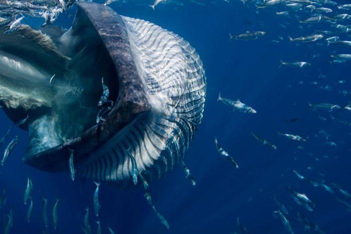Дайвера чуть не засосал 40-тонный кит