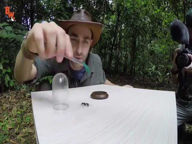 Телеведущий испытал укус муравья-пули