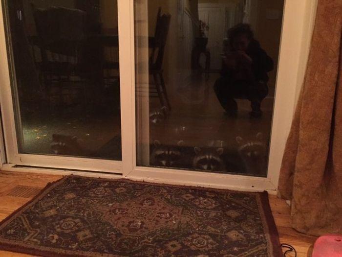 Американка рассказала о семье енотов, которая ежедневно приходит к ней в гости (3 фото + видео)