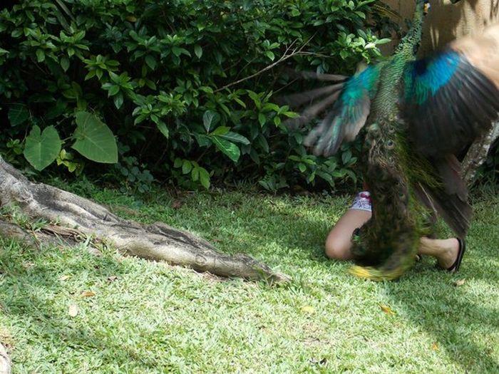 Злой павлин в контактном зоопарке (2 фото)