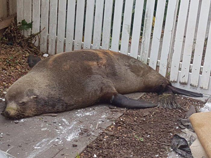 В Австралии тюлень-хулиган повредил автомобиль (3 фото)