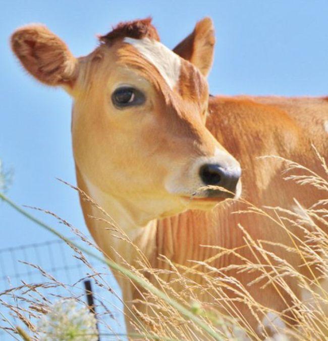 Спасенная корова (9 фото)