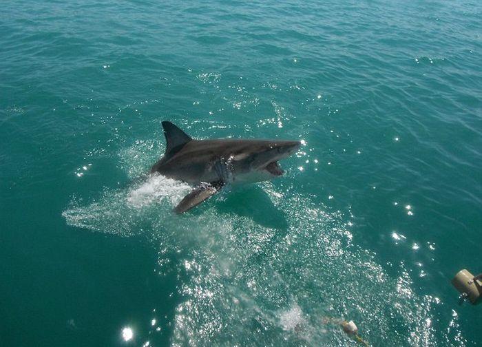 Встреча туристов с большой белой акулой в ЮАР (4 фото)