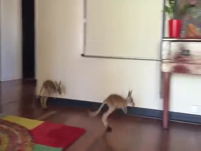 Забавные кенгурята