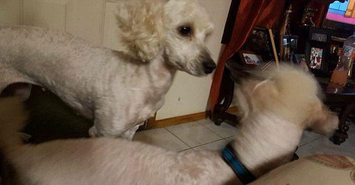 У белой собаки родились абсолютно чёрные щенки (4 фото)