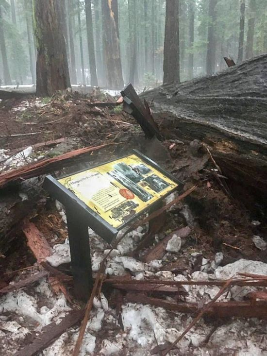 В Калифорнии рухнула 1000-летняя секвойя «Хижина первопроходца» с тоннелем в стволе (3 фото)