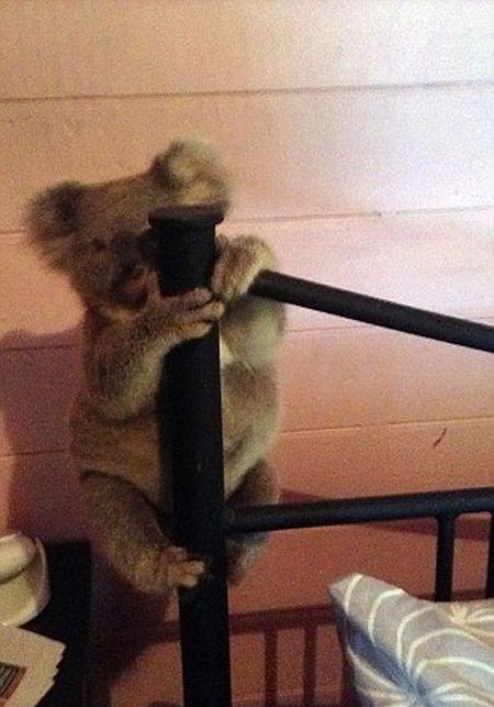 Австралиец спас детеныша коалы от собственной собаки (3 фото)