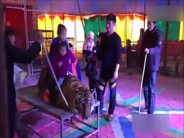 В китайском цирке связали амурского тигра, чтобы посетители могли фотографироваться с ним