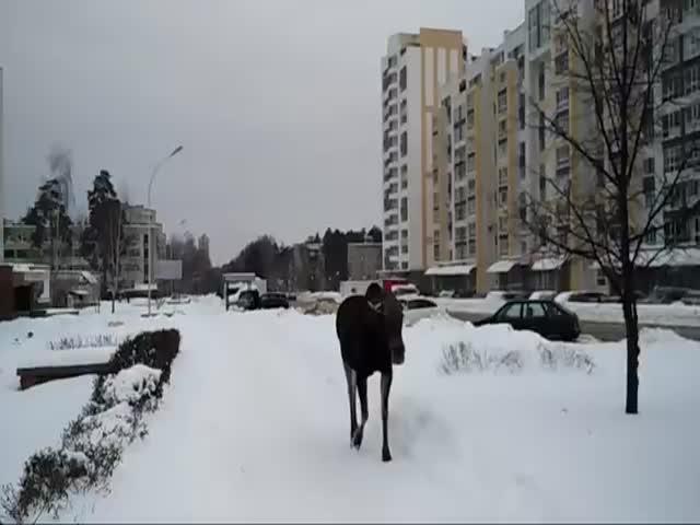 Лось гуляет по городу