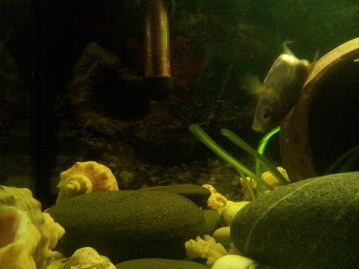 Аквариумная рыбка научилась жить без части тела (3 фото + видео)